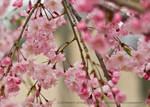 Weeping Cherry Blossom by booberj