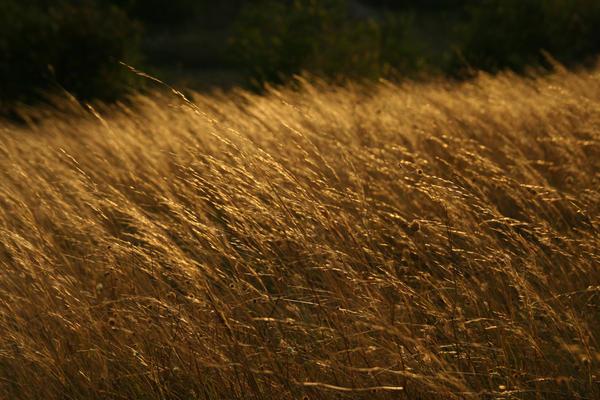 Wheat by getupp