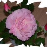 Rose by Nanashi-dono