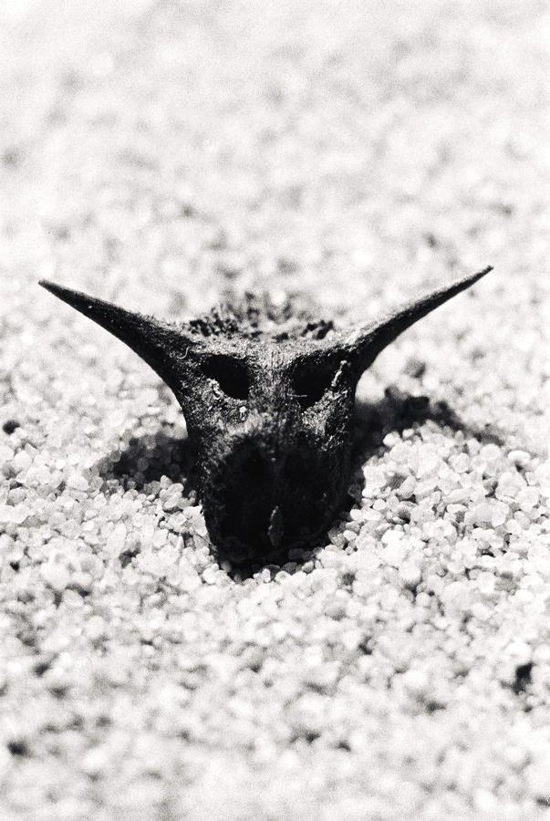 Devil's thorn