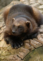 wolverine by Malmborg