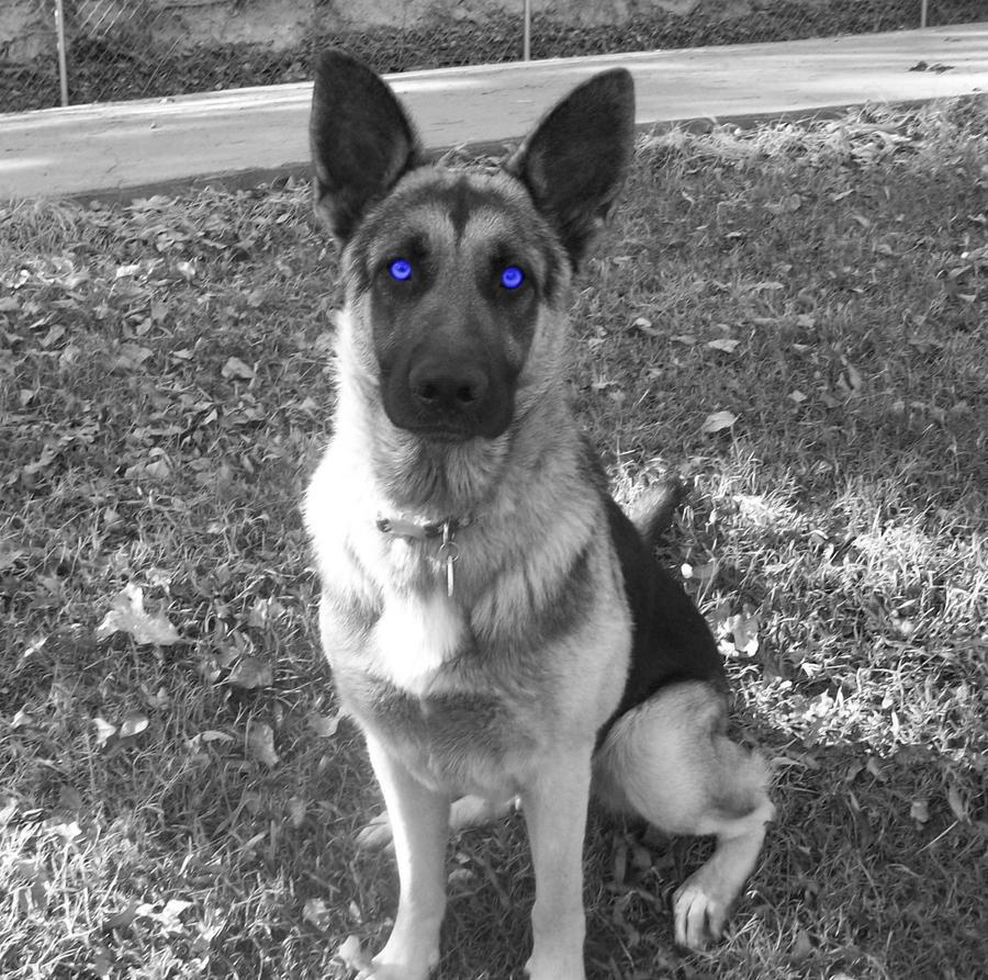 Blue Eyed German Shepherd by TabithaRobin on DeviantArt