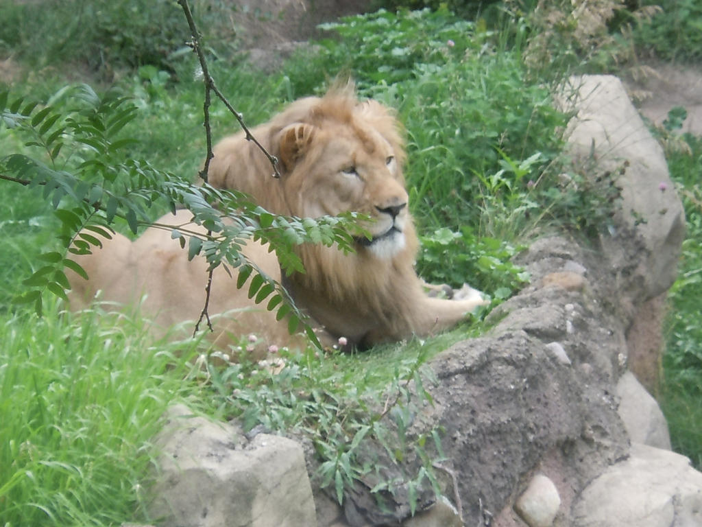 Male Lion by lldeland