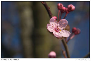 cherry blossom by harbours-of-light