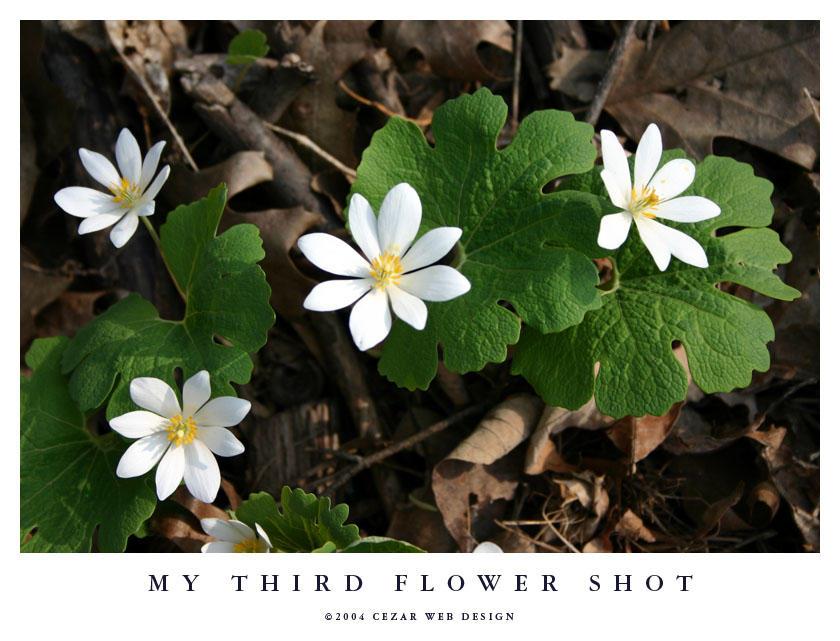 My Third Flower Shot by cezars
