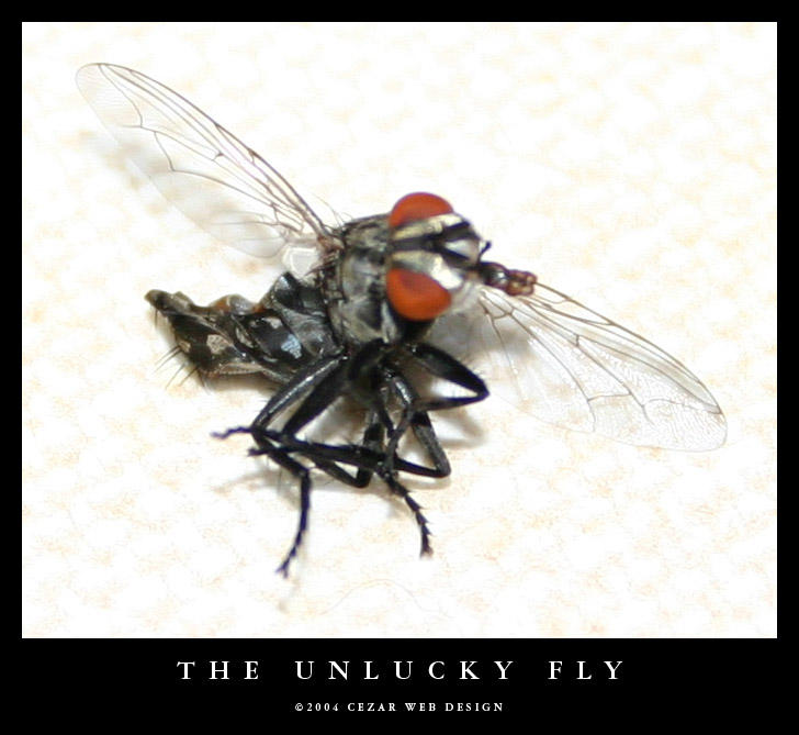 The Unlucky Fly by cezars