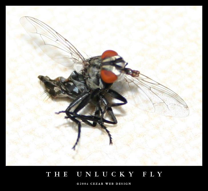 The Unlucky Fly by cezars