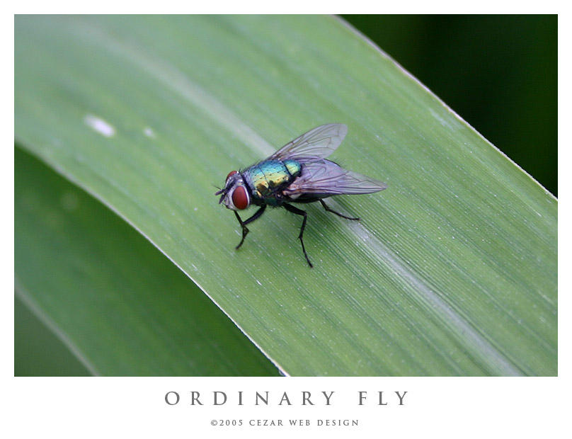 Ordinary Fly by cezars