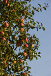apple in the tree2