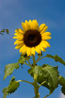 Sunflower3 by archaeopteryx-stocks