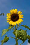 Sunflower3
