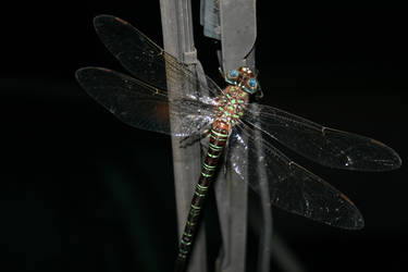 Dragonfly on the windshield by scify