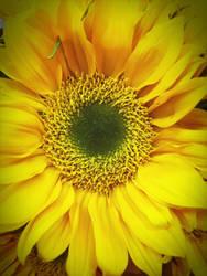 Supermarket Sunflower by LunaShineArts