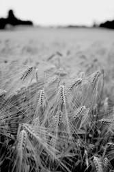 Barley by andreaofstad