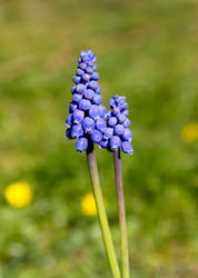 Blue Bells by andreaofstad