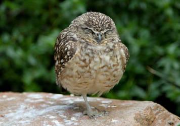 Sleepy Owl by andreaofstad