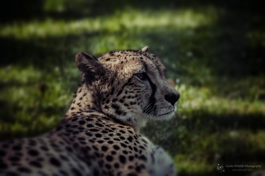 Cheetah, Stuttgart I by FGW-Photography