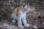 Lynx V