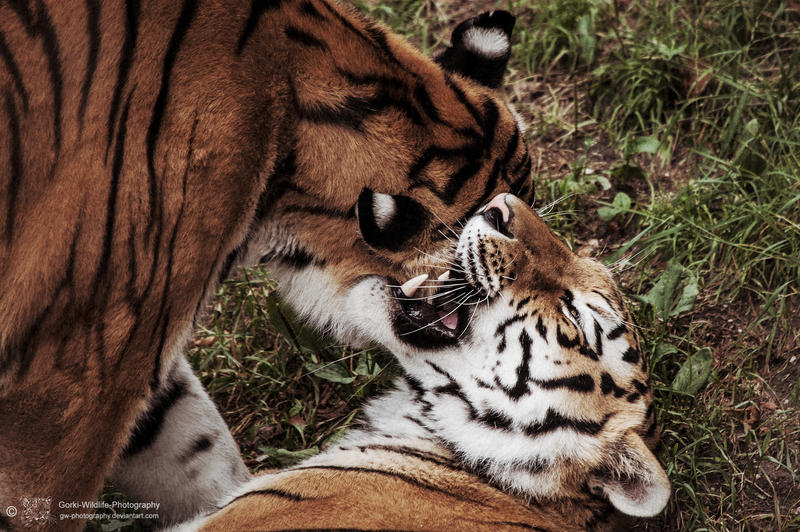 Tiger, Pilsen I by FGW-Photography