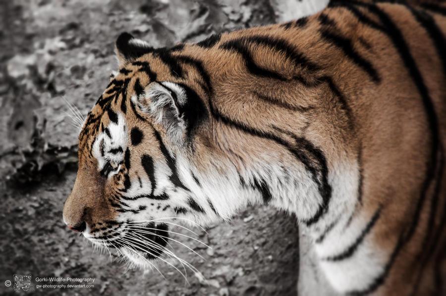 Tiger, Pilsen III by Areksim