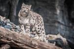 Snowleopard, KA II