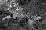 Tiger, Pilsen IV by Areksim