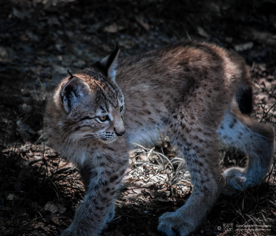 Lynx VII by FGW-Photography