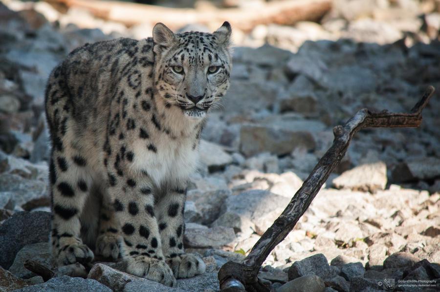 Snowleopard, KA VI by Areksim