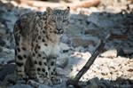 Snowleopard, KA VI