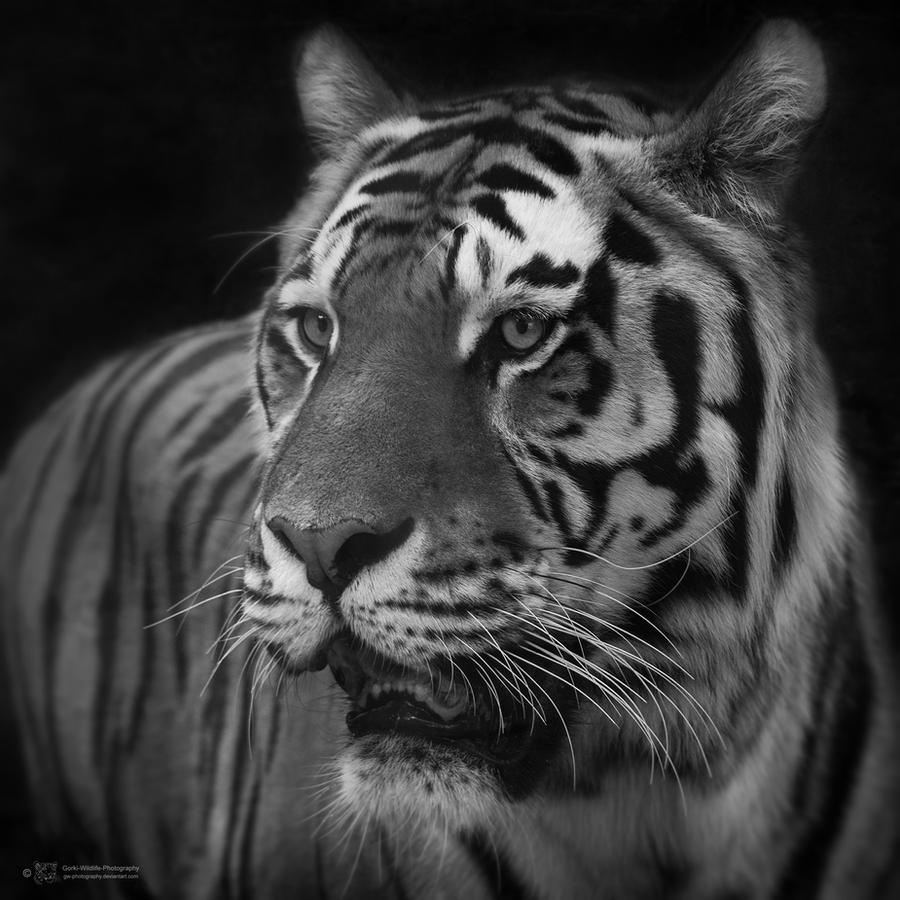 Sibiran Tiger, Mulhouse I by Areksim