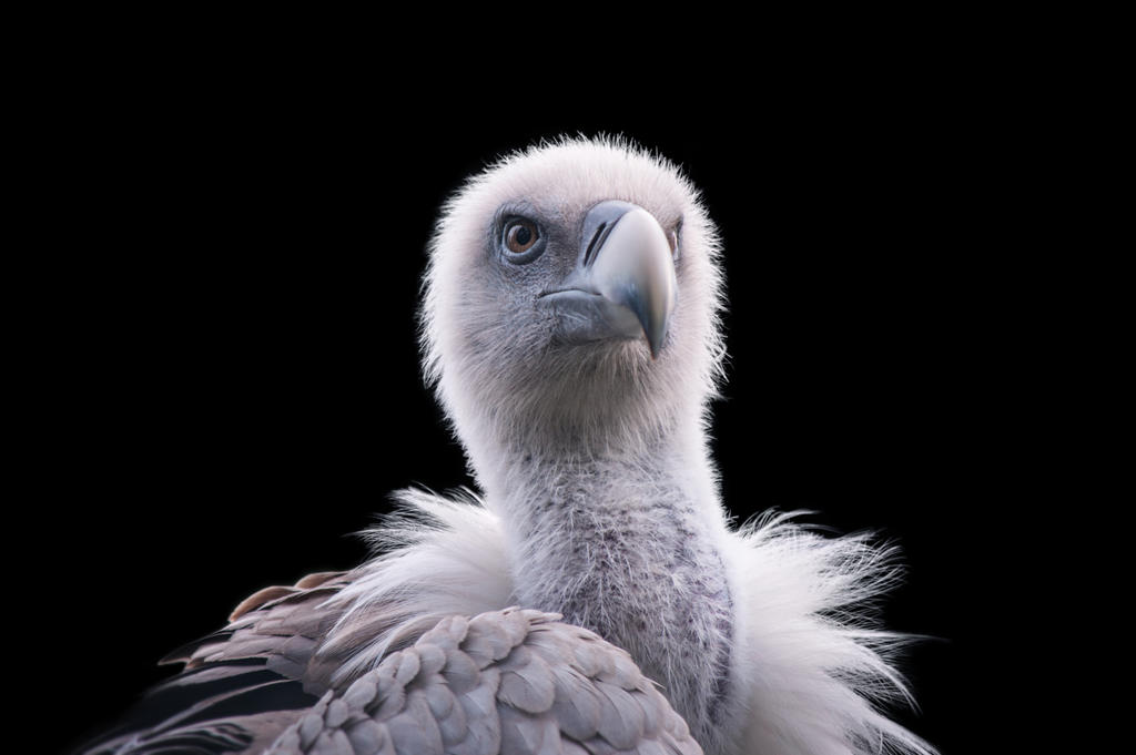 Vulture, I by FGW-Photography