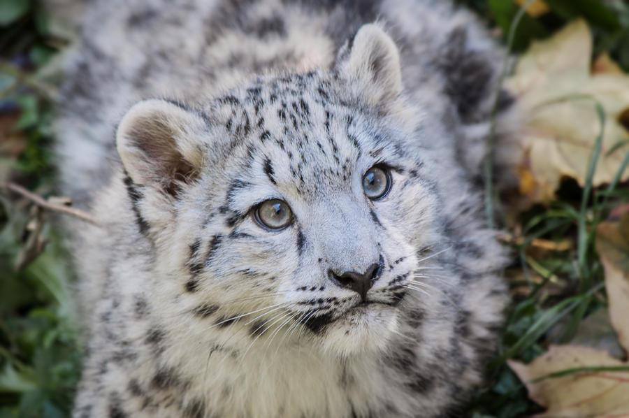 Snow Leopard Cub Coloring Pages