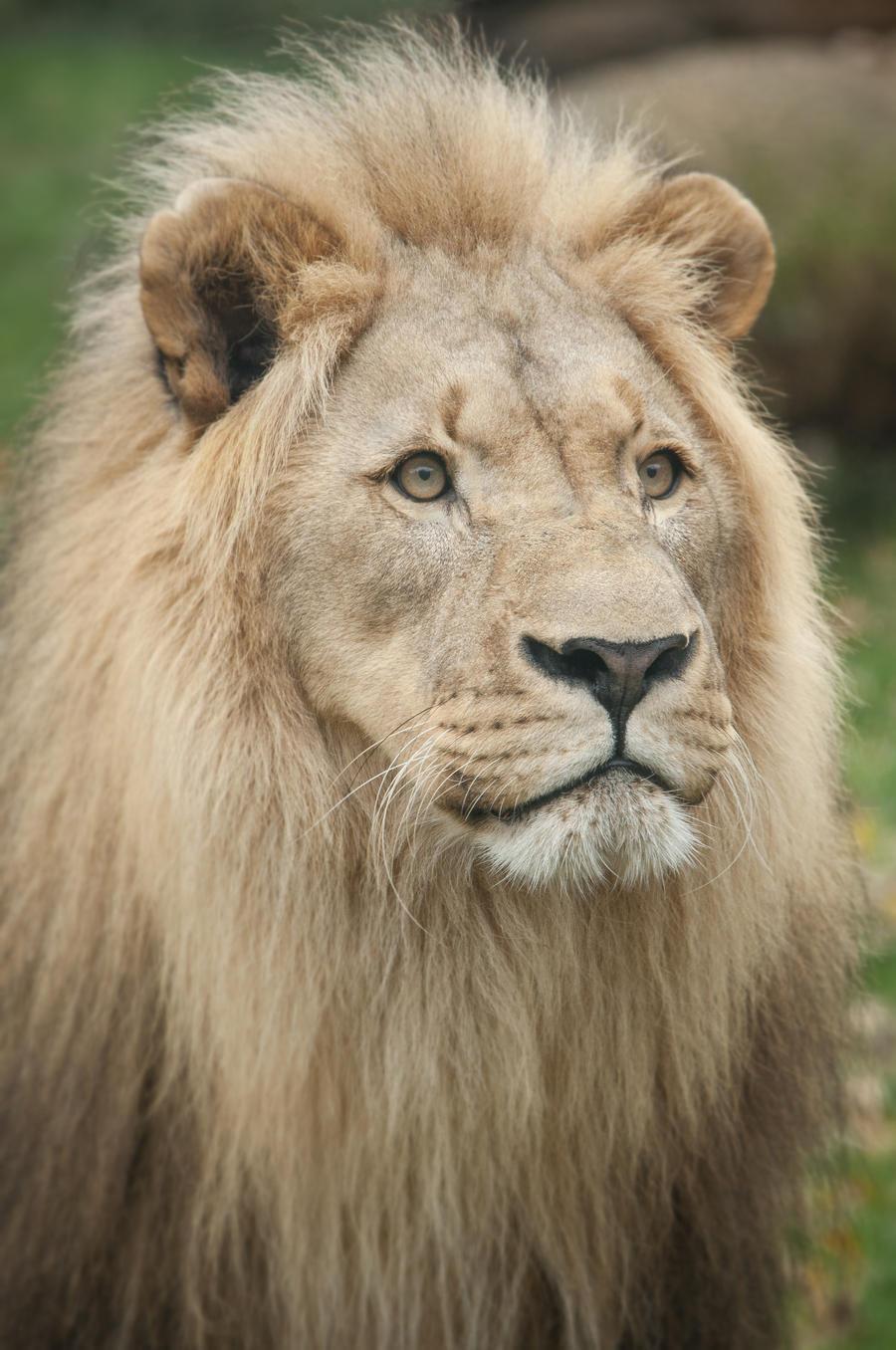 Lion, Salzburg I by Areksim