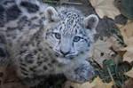 Snowleopard, Stuttgart IX #CUB VERSION by Areksim