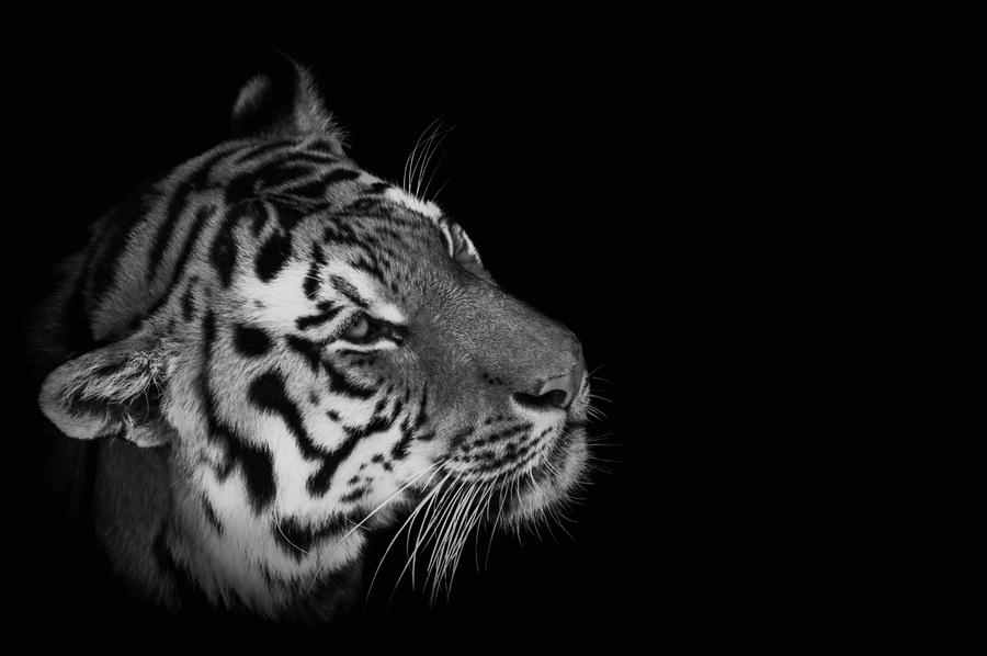 Black and white tiger face photography