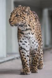 Leopard, KA III by Areksim