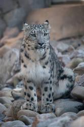 Snowleopard, KA XV by Areksim