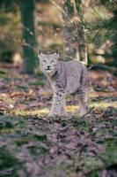 Lynx, Pforzheim VIII by Areksim
