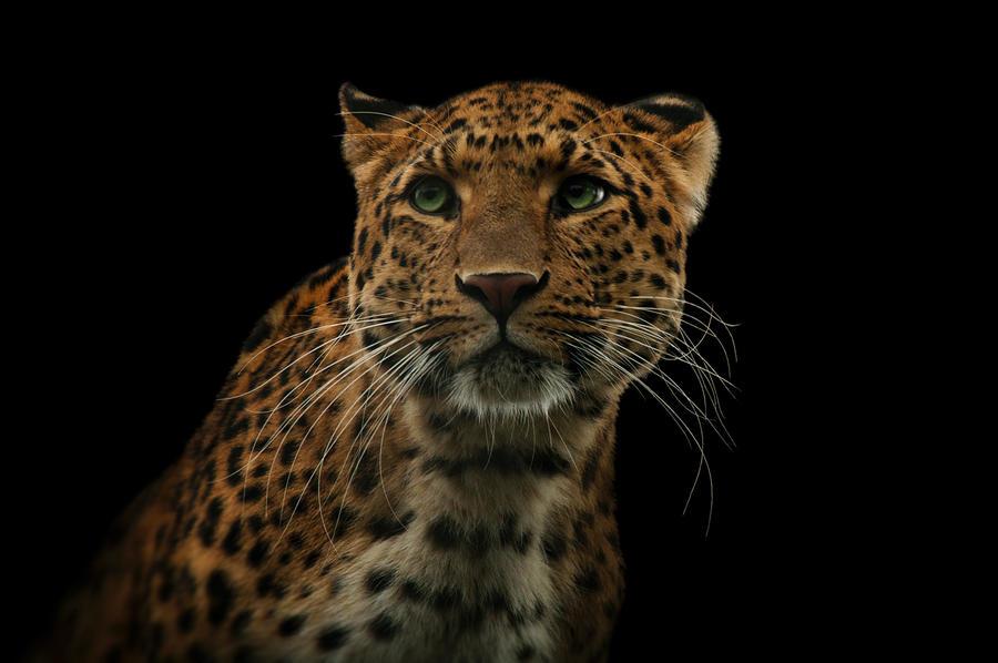 Leopard, KA V by FGW-Photography