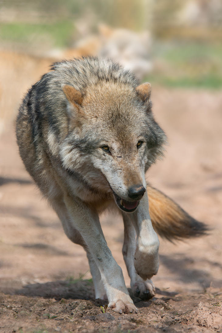 Wolf by FGW-Photography