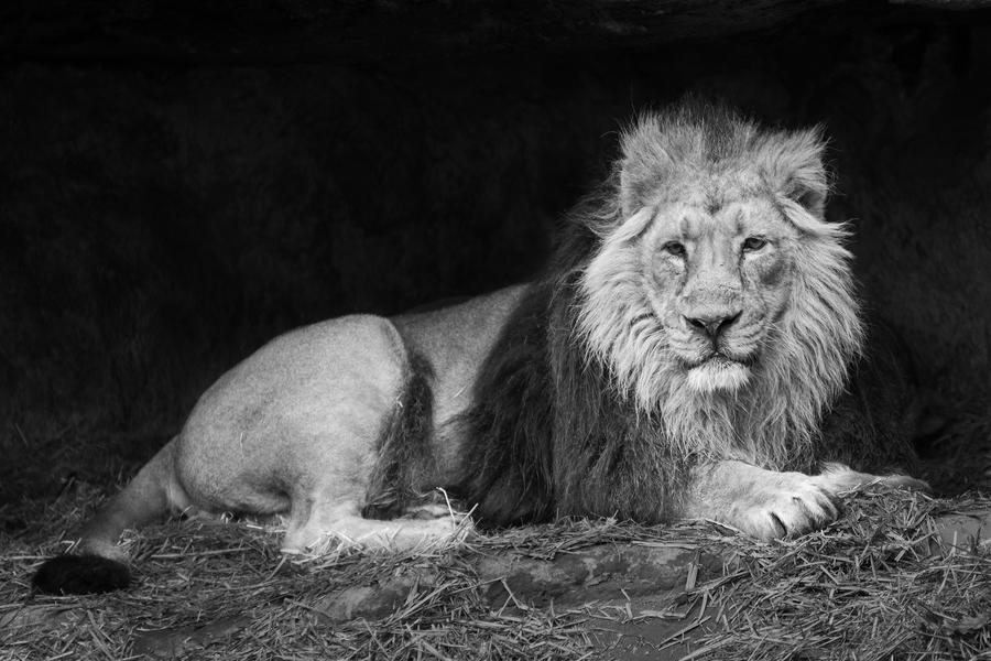 Lion by FGW-Photography