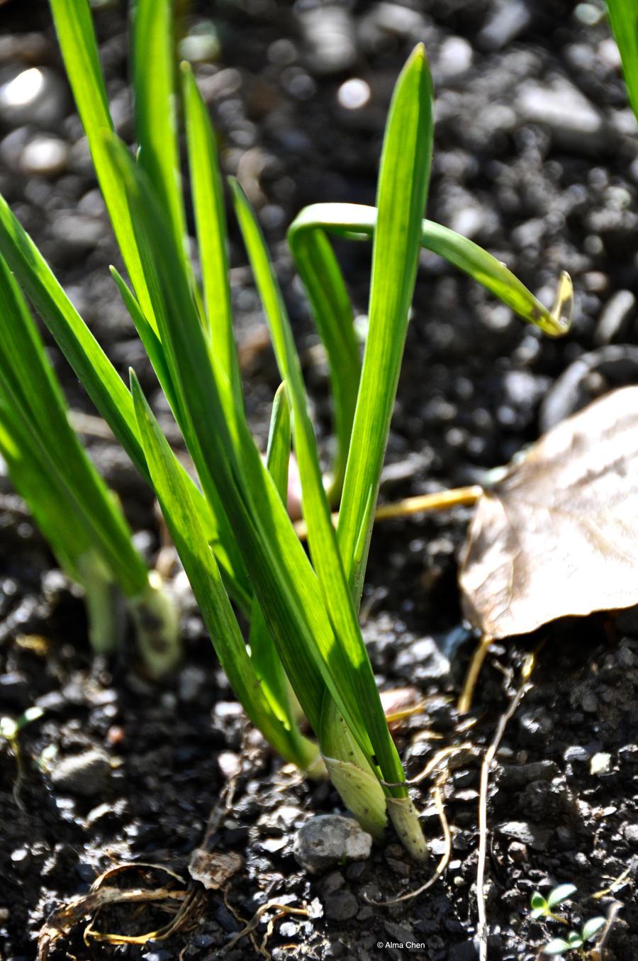 Green Garlic Leaves wallpaper > Green Garlic Leaves Papel de parede > Green Garlic Leaves Fondos