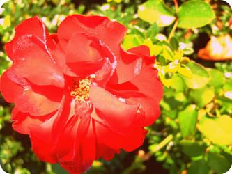 raindrops on roses by tmhamblin
