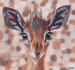 Antelope dik dik