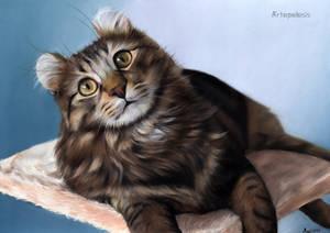 Cat American Curl