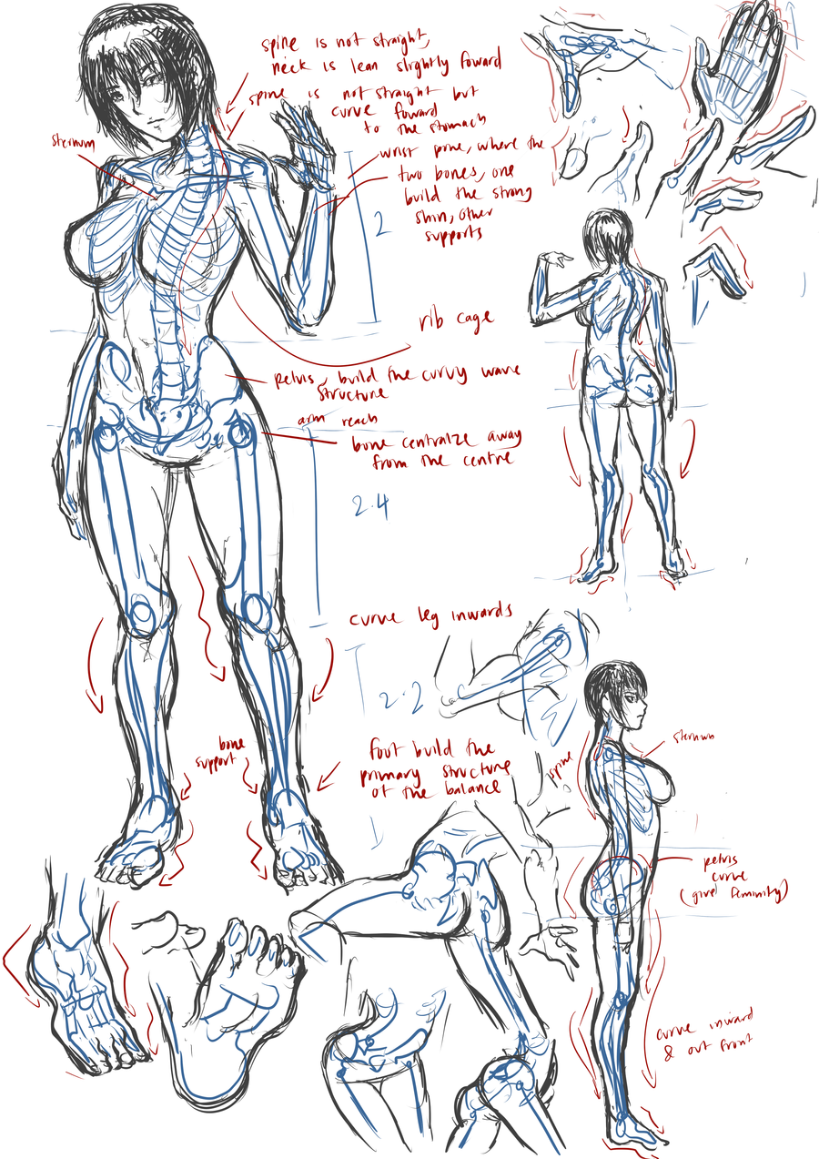Female anatomy+skeleton by Frost7 on DeviantArt