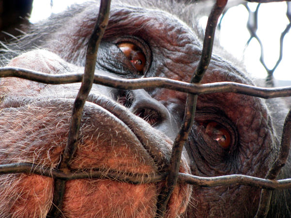 zoos are animals prisons essay How do you feel about keeping animals in zoos read both sides of the  argument to help you decide.