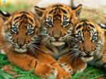 Tigers Of The Desktop