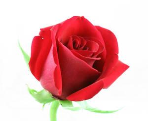 Red Rose Flower Stock
