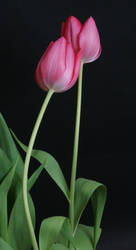 Pink Tulip Flower Stock 1
